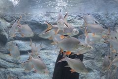 Srebna barbet ryba w akwarium zdjęcie stock