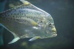 Srebna ryba 2 Obraz Royalty Free