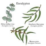 Srebnego dolara drzewo, manna dziąsło i południowy dziąsło eukaliptusa set, ilustracja wektor