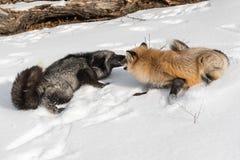Srebnego Fox Vulpes vulpes I Złocista faza Ostrożnie wprowadzać Ostrożnie wprowadzać Obraz Royalty Free