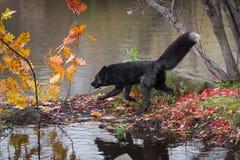 Srebnego Fox Vulpes vulpes Kłusuje Z lewej strony na wyspy jesieni zdjęcie stock