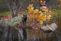 Srebnego Fox Vulpes vulpes Patrzeje W górę wyspy jesieni na zdjęcia stock
