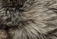 Srebnego lisa futerko Zdjęcie Stock