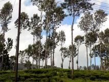 Srebni Dębowi drzewa fotografia royalty free