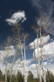 srebni drzewa Zdjęcia Royalty Free