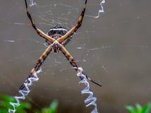 Srebny argiope ogrodowego pająka polowanie w swój sieci obraz royalty free