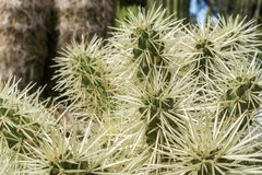 Srebny cholla, Kalifornia obraz royalty free
