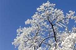 Srebny drzewo Fotografia Stock