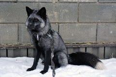 Srebny Fox Obraz Royalty Free