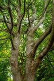Srebny Jaworowy Drzewny bagażnik w Zielonego baldachim fotografia royalty free