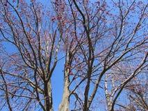 Srebny Klonowy drzewo w kwiacie Przeciw niebieskiemu niebu Zdjęcia Royalty Free