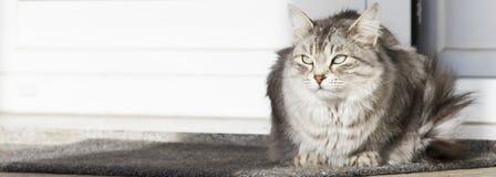 Srebny kot w ogródzie, siberian traken Obraz Stock