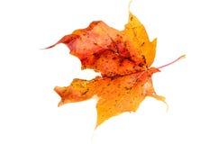 Srebny liść klonowy z drzewa Zdjęcia Royalty Free