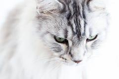 Srebny Maine Coon kot na biały tła patrzeć Obraz Royalty Free