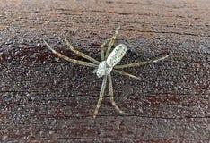 Srebny pająk Obraz Stock