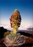 srebny roślina kordzik Obrazy Stock