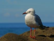 Srebny Seagull Obrazy Royalty Free