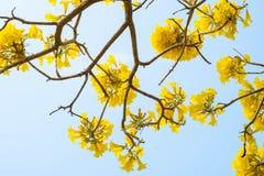 Srebny tubowy drzewo, drzewo złoto, Paragwajski srebny tubowy drzewo Fotografia Stock