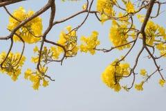 Srebny tubowy drzewo, drzewo złoto, Paragwajski srebny tubowy drzewo Obraz Stock