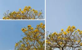 Srebny tubowy drzewo, drzewo złoto, Paragwajski srebny tubowy drzewo Zdjęcie Royalty Free