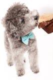 Srebny zabawkarski pudel z łęku krawatem Obrazy Stock