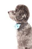 Srebny zabawkarski pudel z łęku krawatem Obraz Royalty Free