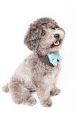 Srebny zabawkarski pudel z łęku krawatem Zdjęcie Royalty Free