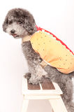Srebny zabawkarski pudel z hot dog kostiumem Obrazy Stock
