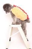 Srebny zabawkarski pudel z hot dog kostiumem Zdjęcie Stock