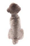 Srebny zabawkarskiego pudla portret Zdjęcia Stock