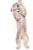 Srebny zabawkarskiego pudla portret Zdjęcia Royalty Free