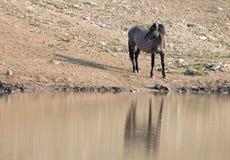 Srebnych szarość Grulla dzikiego konia ogier odbija przy waterhole w Pryor gór Dzikiego konia pasmie w Montana usa Zdjęcie Royalty Free