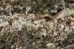 Srebnych szarość mech z zarodnikami i nieżywymi liśćmi Obraz Stock