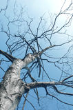 srebrny brzozy drzewo. Zdjęcia Royalty Free