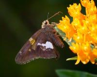 Srebro dostrzegający szyper na Wildflower Obraz Royalty Free