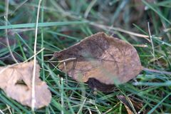 Srebro fladrujący nieboszczyków liście na trawie zdjęcia stock