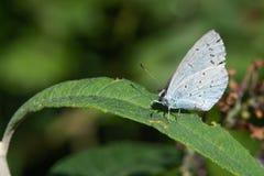 Srebro Nabijający ćwiekami Błękitny motyl Na Zielonym liściu Plebejus Argus fotografia stock