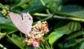 Srebro przyglądający się motyl Zdjęcie Stock