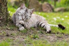 Srebro tigrated kota czyścić Obraz Royalty Free