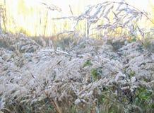 Srebrzyści spikelets rośliny w lesie obraz royalty free