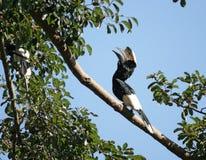 Srebrzysta dzioborożec w Uganda Zdjęcia Royalty Free