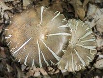 Srebrzyste Brown Agaricus pieczarki Zdjęcia Royalty Free
