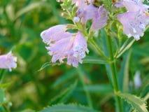Srebrzyste menchie dostrzegający smoka kwiat obraz stock