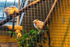 Srebrzysty pazurczatki Callithrix argentata w zoo Barcelona zdjęcia royalty free