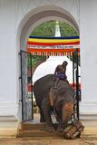 Sri Dalada Maligawa Kandy, Sri Lanka. An elephant bending to get some Kithul trunks at Sri Natha Dewalaya entrance. 2017 Perahera season Royalty Free Stock Images