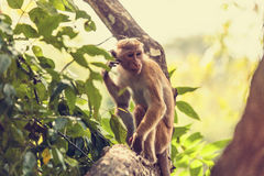 Sri Lanka-Affe, der auf dem Baum sitzt Stockbilder