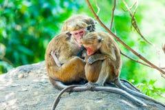 Sri Lanka-Affe, der auf dem Baum sitzt Stockfotografie