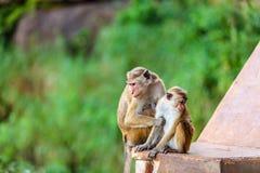 Sri Lanka-Affe, der auf Ruinen sitzt Stockfotografie