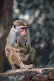 Sri Lanka: Affe und sein Baby Lizenzfreie Stockfotos