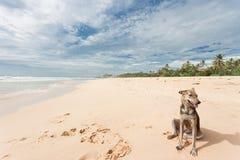 Sri Lanka - Ahungalla - ein wilder Hund, der im Sand sitzt Lizenzfreies Stockfoto
